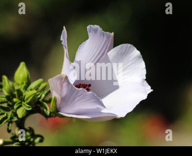 close up of Althaea officinalis, or marsh mallow flower blooming in spring in the garden - Stock Photo