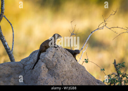 Two Common dwarf mongoose on termite mound in Kruger National park, South Africa ; Specie Helogale parvula family of Herpestidae - Stock Photo