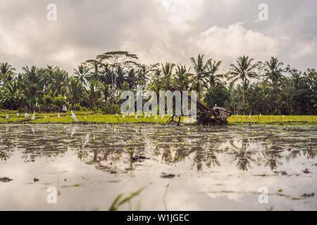 Rice field in sunrise time for background - Stock Photo