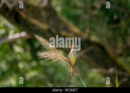 Great-reed warbler, Acrocephalus arundinaceus, single bird on reed singing - Stock Photo