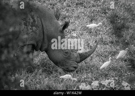 Southern white rhinoceros portrait grazing with cattle egret in Kruger National park, South Africa ; Specie Ceratotherium simum simum family of Rhinoc - Stock Photo