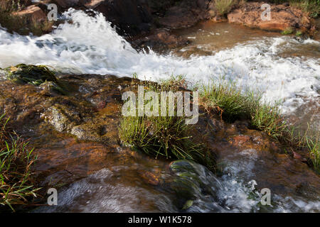 Rare plants discovered in situ on rapids in river during botanical survey and research during CSR project for industrial company. Sierra Leone, Africa - Stock Photo