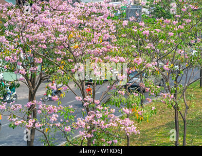Tabebuia rosea or pink trumpet blooming. This is a blooming flower in March to May every year, like beautiful small pink trumpets adorned with natural - Stock Photo