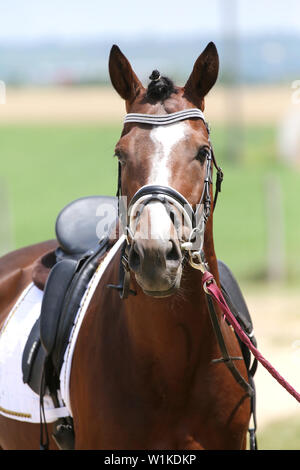 Front side photo of a beautiful dressage horse under saddle before the race - Stock Photo