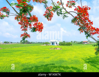 Red royal poinciana blooming along the road, far away is rice fields and houses in rural Vietnam are so simple - Stock Photo