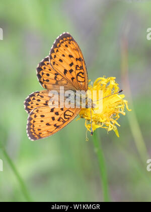 Brenthis ino, known as the lesser marbled fritillary, a butterfly of the family Nymphalidae - Stock Photo