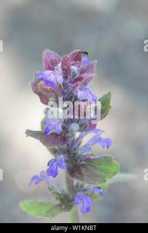 Ajuga reptans, known as bugle, blue bugle, bugleherb, bugleweed, carpetweed, carpet bugleweed, and common bugle, growing wild in Finland - Stock Photo