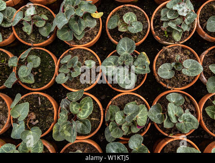 Still life of Cyclamen persicum L growing in pots in a greenhouse at the Historical Garden in Aalsmeer, North Holland, The Netherlands. - Stock Photo