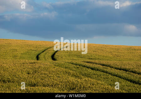 tractor tracks in grain field with cloudy sky - Stock Photo