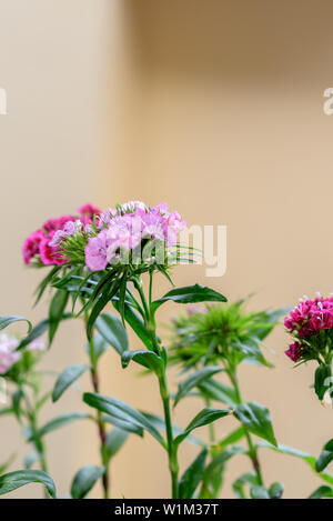 Close up of little lovely Pensies flowers in the garden with mixed colorful natural background. - Stock Photo
