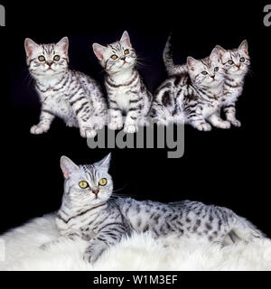 Mother cat with nest black silver tabby kittens isolated on black background - Stock Photo