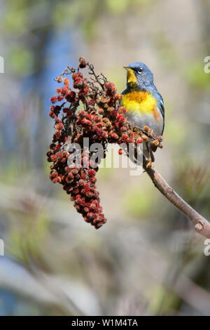 A migrating male Northern Parula pauses for a meal on some Staghorn Sumac at Toronto, Ontario's popular Ashbridges Bay Park. - Stock Photo