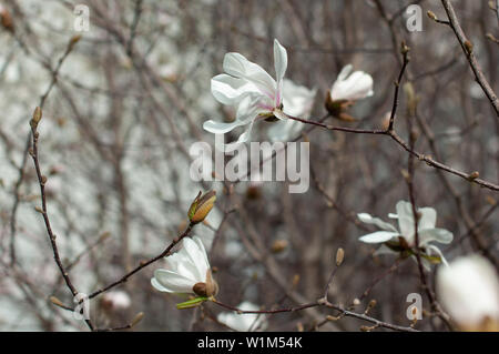 Magnolia in blossom. White magnolia flowers and buds. Blurred background. Close-up, soft selective focus - Stock Photo
