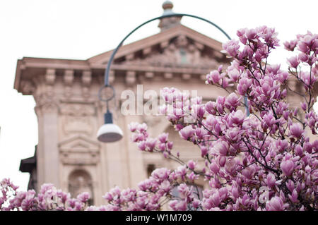 Magnolia in blossom. Blooming pink magnolia tree. Italian church on background - Stock Photo