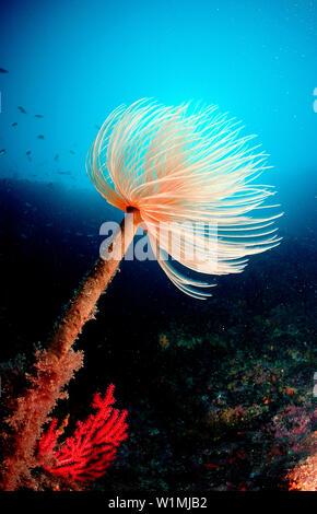 Roehrenwurm, Fan worm, Spirographis spallanzani - Stock Photo