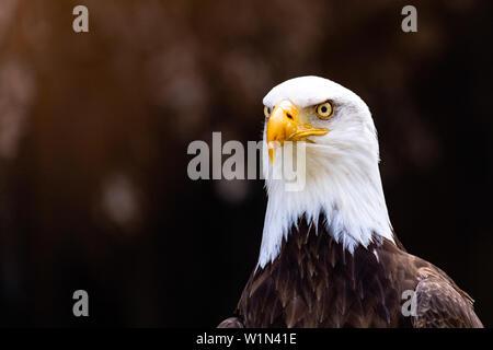 Bald Eagle looking sideways