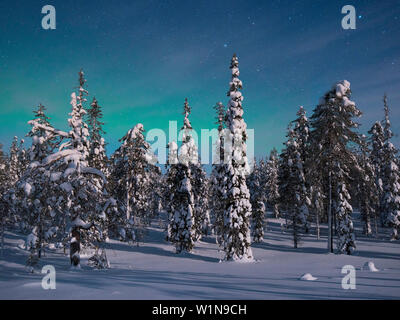 Panoramic view with snowy forest and frozen trees under a starry sky with northern lights in winter, Riisitunturi National Park, Kuusamo, Lapland, Fin - Stock Photo