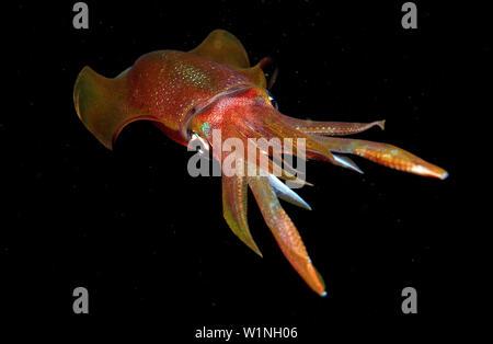 Reef squid at night, Sepioteuthis lessoniana, Bali, Indian Ocean, Indonesia - Stock Photo
