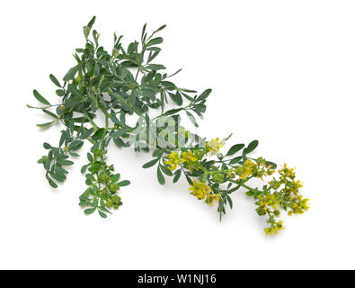 Ruta commonly known as rue Ruta graveolens rue or common rue. Isolated on white background - Stock Photo