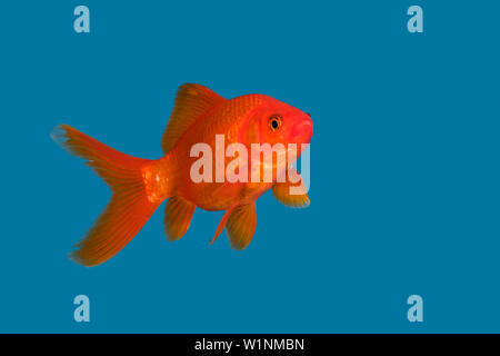 Goldfish in blue water, Carassius auratus, captive - Stock Photo