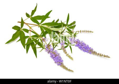 Vitex agnus-castus, chaste tree or chastetree, chasteberry, Abraham's balm, lilac chastetree or monk's pepper. - Stock Photo