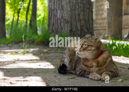 A beautiful home cat lies on the ground and rests under a tree in the shade - Stock Photo