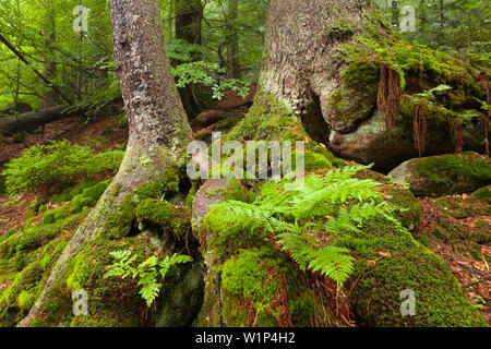Moss and fern at the roots of a spruce, hiking path to Grosser Falkenstein, Bavarian Forest, Bavaria, Germany - Stock Photo