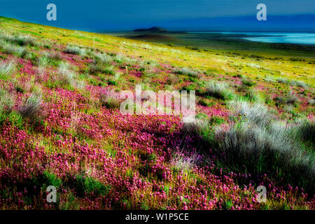 Purple Owls Clover, (Castilleja exserta). Carrizo Plain. California - Stock Photo