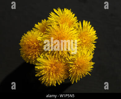 Bouquet bright dandelion on dark background at year term of time - Stock Photo