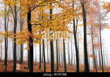 Beech forest in late autumn, Spessart Nature Park, Lower Franconia, Bavaria, Germany - Stock Photo