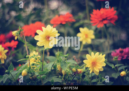 Bright yellow and red dahlias growing in the garden - Stock Photo
