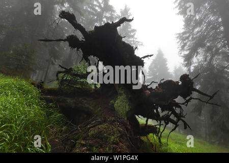 Roots of a fallen spruce, hiking path to Grosser Falkenstein, Bavarian Forest, Bavaria, Germany - Stock Photo