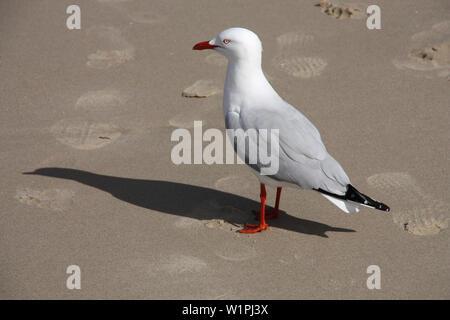 Silver Gull (Chroicocephalus novaehollandiae) in Queensland, also known simply as seagull in Australia - the most common gull seen in Australia. - Stock Photo
