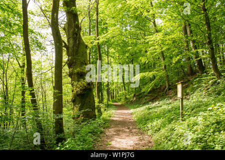 Track around Haina monastery through Stamford's garden, beside the path is a large old pedunculate oak (Quercus robur) amidst a forest of beech trees - Stock Photo