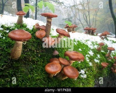 Armillaria, Schafstein, Rhoen Biosphere Reserve, Hessian Rhoen Nature Park, Bavaria, Germany - Stock Photo