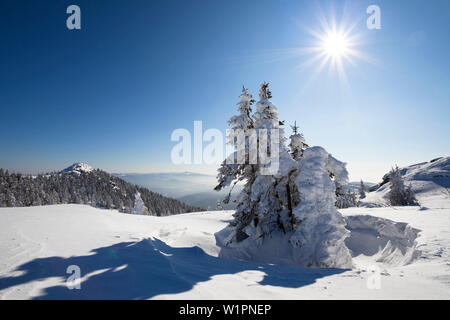 snow covered spruce, Picea abies, Great Arber mountain, Bavarian Forest, Bayerisch Eisenstein, Lower Bavaria, Germany, Europe - Stock Photo