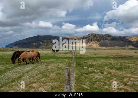 A herd of Icelandic horses graze in a pasture beneath the dramatic vista of mountains in the background. - Stock Photo