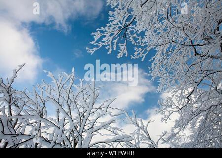 Hoar frost of an old beech, Rhoen Biosphere Reserve, Hessian Rhoen Nature Park, Bavaria, Germany - Stock Photo