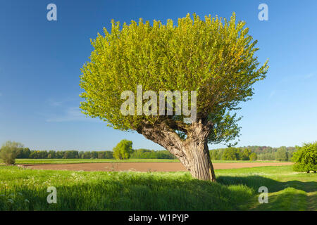 Pollard willow at Bislicher Insel, near Xanten, Lower Rhine, North-Rhine Westphalia, Germany - Stock Photo