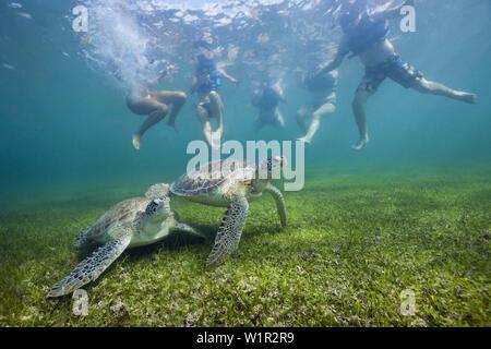 Snorkelers watching Green Sea Turtle, Chelonia mydas, Akumal, Tulum, Mexico - Stock Photo