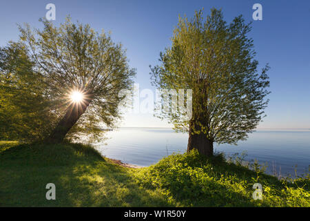Willow trees at lake Mueritz, Mueritz-Elde-Wasserstrasse, Mecklenburgische Seenplatte, Mecklenburg-West Pomerania, Germany - Stock Photo
