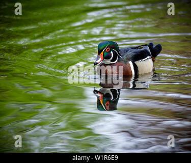 Male Wood Duck, or Carolina Duck (Aix sponsa) on water, Manitoba, Canada.
