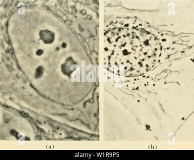 Archive image from page 46 of Cytology (1961) - Stock Photo