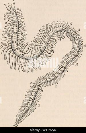 Archive image from page 46 of The cyclopædia of anatomy and - Stock Photo