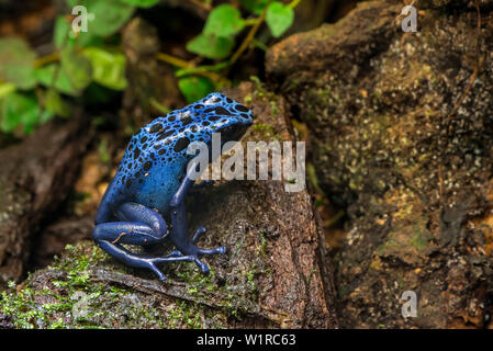 Blue poison dart frog / blue poison arrow frog / okopipi (Dendrobates tinctorius azureus) native to rainforests in Suriname and Brazil - Stock Photo