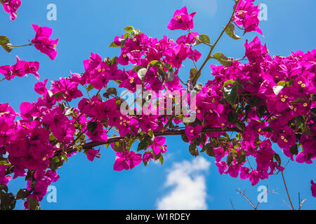 Beautiful red or pink Bougainvillea flowers, plants and garden in Bodrum city of Turkey. View of beautiful garden at summer season in Bodrum town.