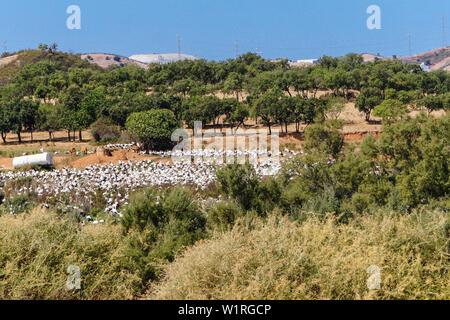 a flock of stork birds at Rasmalho in Portugal - Stock Photo