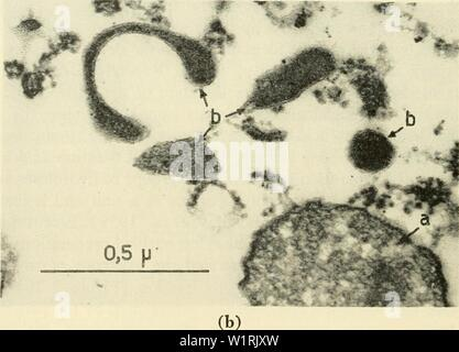 Archive image from page 67 of Cytology (1961) - Stock Photo