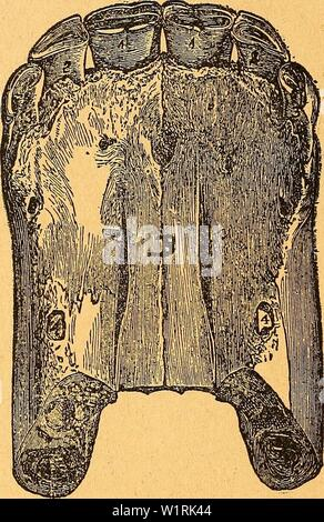 Archive image from page 67 of Das pferdebuch des amerikanischen farmers. Das pferdebuch des amerikanischen farmers  daspferdebuchdes00hoff Year: 1917 62 S)a§ 'ifcxbebnäj beg omertlontfcen ??armer§. â SBäT)ren'b be§ britten di)v§> toerben bte ÂcneibeaäfinegetDetfifelt (shedded, sliifted), unh bt§ biefe§ bollenbet ift, ift ha§> mittlere aar berfelBen Bema)e auSgetoadjfen. (@tel)e ba§ 33ilb, iDeIc£)e§ bie 3äie be§ breiiälirigen iof)Ien barftellt.)    311)1). 10.âBr BberktEti EtttB» brEtiäljrigEtt JolBn». B, SSorberer teferfno(f)en. 1 1, SKittlere, BleiBenbe, Betnaf)e ouSg - Stock Photo