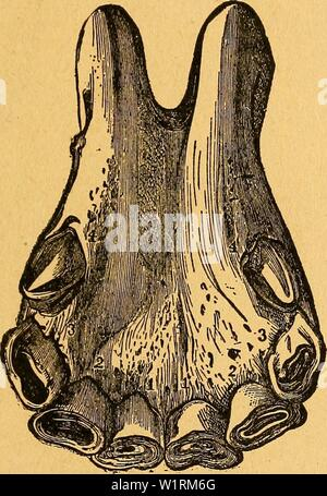 Archive image from page 70 of Das pferdebuch des amerikanischen farmers. Das pferdebuch des amerikanischen farmers  daspferdebuchdes00hoff Year: 1917 SJom (Srfciirtcn bc3 2llter§ fiel jferben. 65 53?it.bcm ftcbcutcit 'ai)ve i[t on ben djärincn hcB OBcrlcfer§ ein tpQfcn tcmcrfbar, iüäfircnb ber ern bc§ 3h)citGn aare§ ber d)Ticibc3äIjnc gänalid) öerh)ifcf)t ift unb an ben $Qfen3äI)nett beut= Iirf)e Innren ber 9f&nüt3nng toofirgenommen ioerben. Wit bem ad]ien v;al)r ift ber ÜQvn au§ allen d)neibe3äl)nen be§ UnterfteferS ab- genügt unb tritt berfclöe im mittleren oar be§ DBerfieferB biel luonigcr - Stock Photo